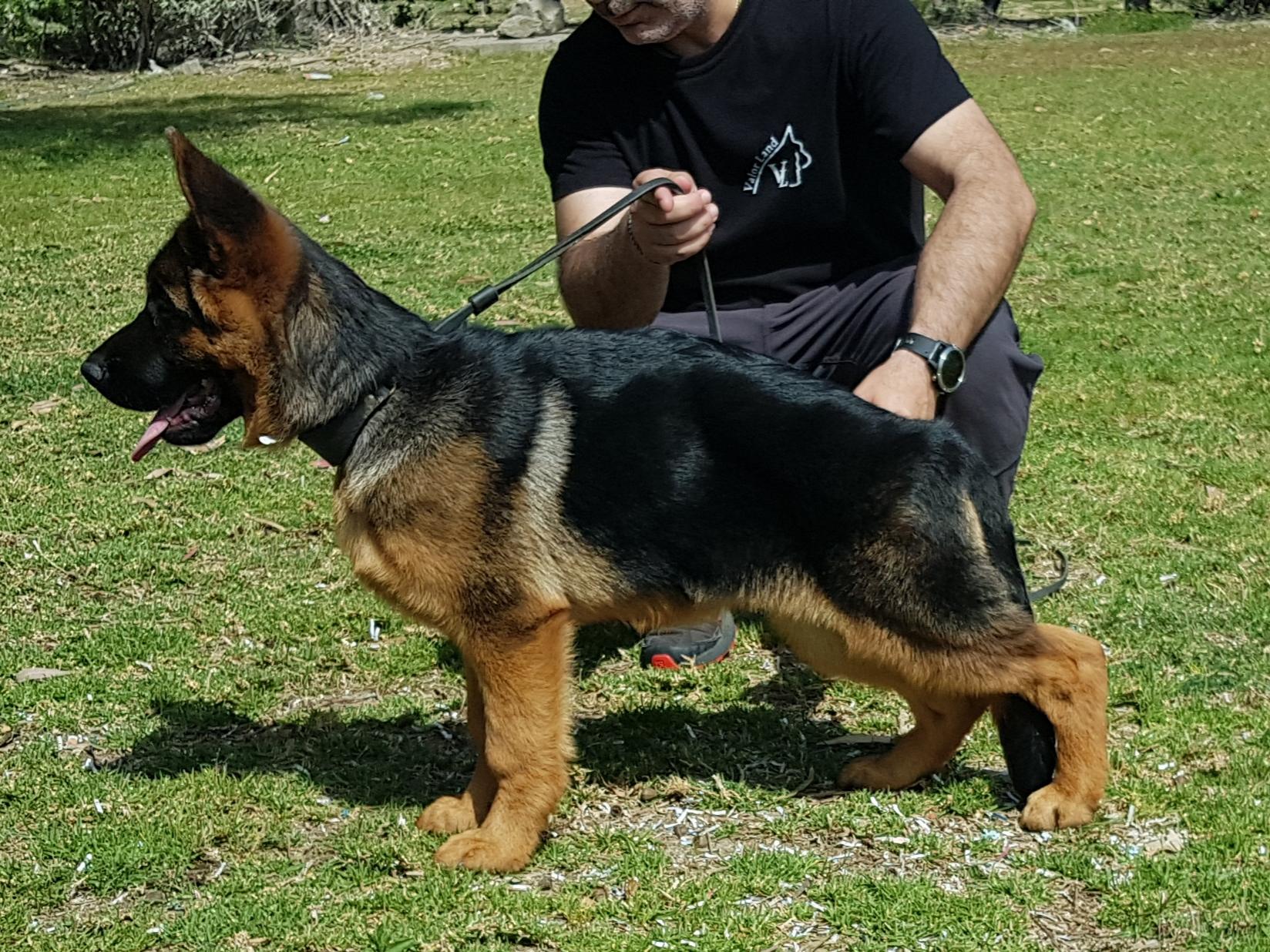 ValorLand German Shepherds